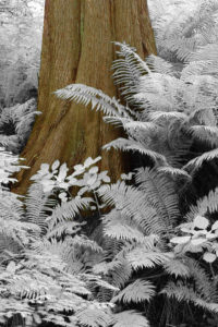 Redwood and Ferns infrared