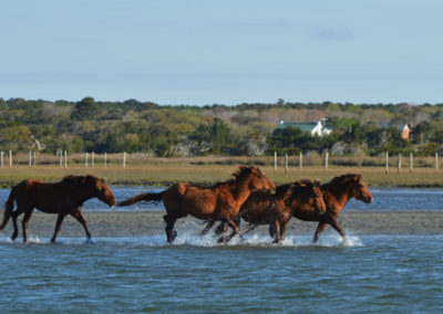 Outer Banks ponies