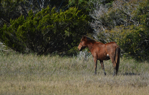 Outer Banks pony
